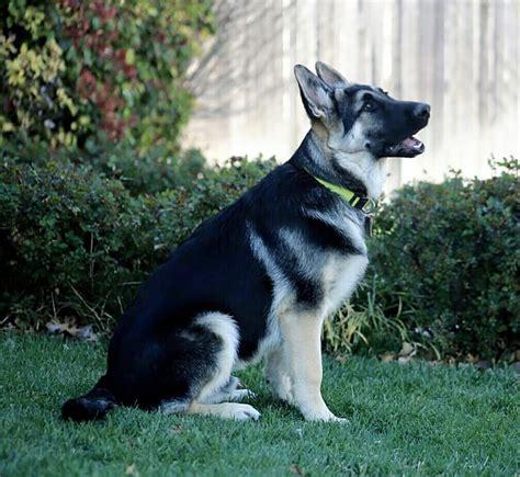 silver german shepherd dixie woody pup black and silver german shepherd sinjin 4 months