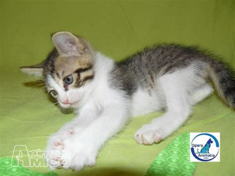 regalo gattini pavia offro in regalo cucciolo europeo da associazione animali a
