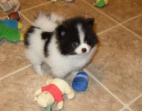 black and white pomeranian for sale 25 best white pomeranian ideas on