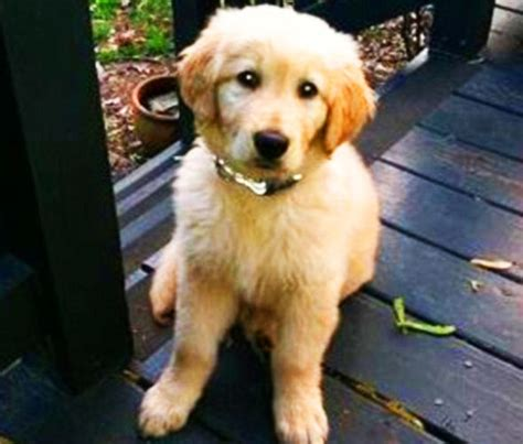 golden retriever petco cooked to while trapped in cage in freak grooming nature news