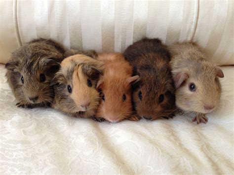 Baby Guinea Pigs Images
