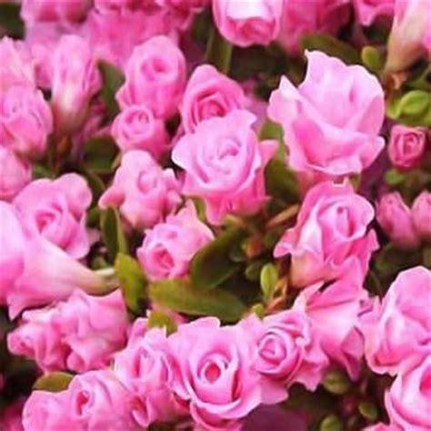 onlineplantcenter 2 gal rosebud azalea shrub discontinued