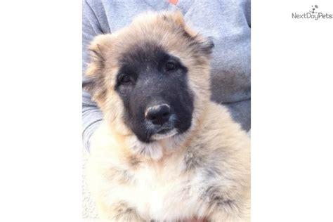 caucasian mountain price caucasian mountain puppy for sale near las vegas nevada 06def293 24f1