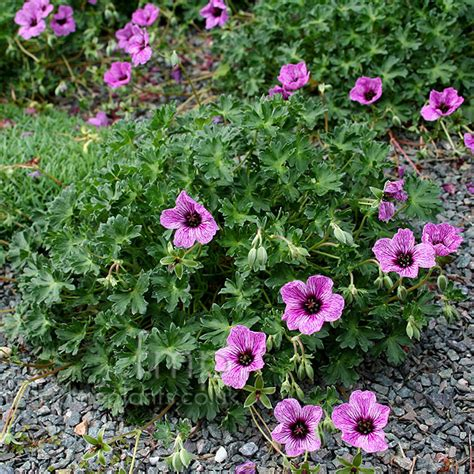 a big photo of geranium cinereum from findmeplants
