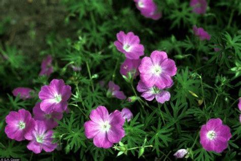 10 plants that repel mosquitoes geranium