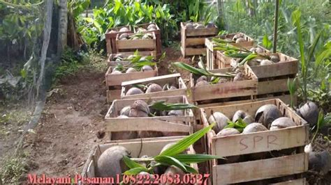 harga bibit kelapa hibrida harga bibit kelapa kopyor