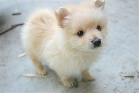 maltese and pomeranian mix puppies for sale pomeranian puppy wallpapers 67