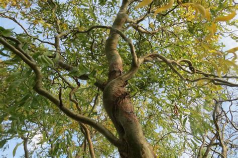 corkscrew willow tree lovetoknow