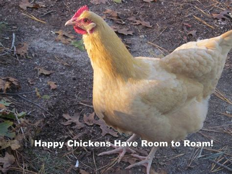how much room does a chicken need in a coop how much space do chickens need