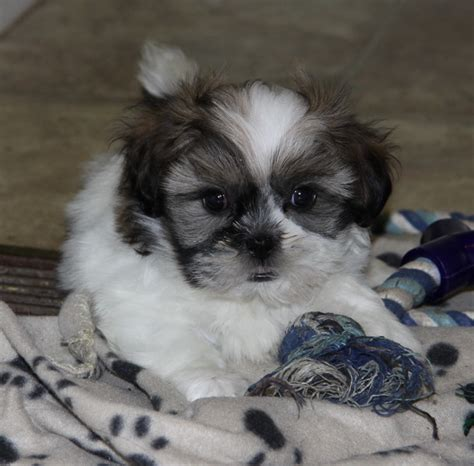 baby shih tzu for sale baby shih tzu puppy puppies for sale dogs for sale in ontario canada curious