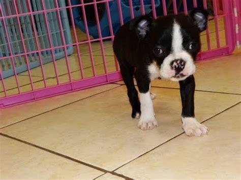 puppies dothan alabama boston terrier breed funnydog tv