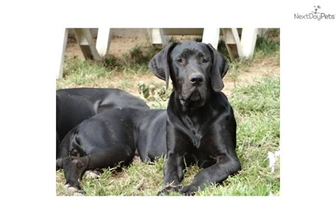 great dane dog house great dane puppy for sale near northwest ct connecticut 8fb619a1 5791