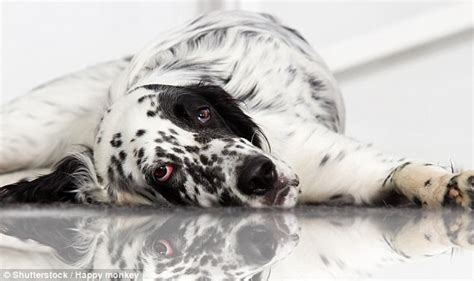 italian setter dog italian academic granted time off to care for sick dog