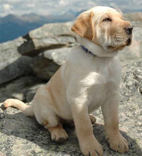 shar pei lab mix puppies jacques the labrador shar pei mix puppies daily puppy