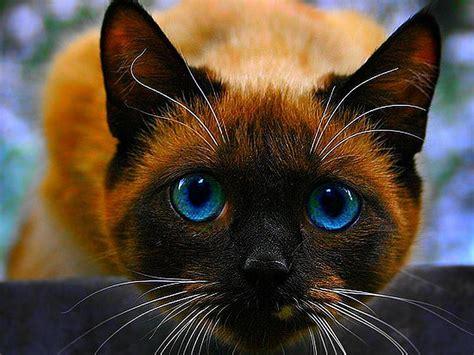 imagenes para fondo de pantalla gatos gato siam 233 s fondos de pantalla gratis