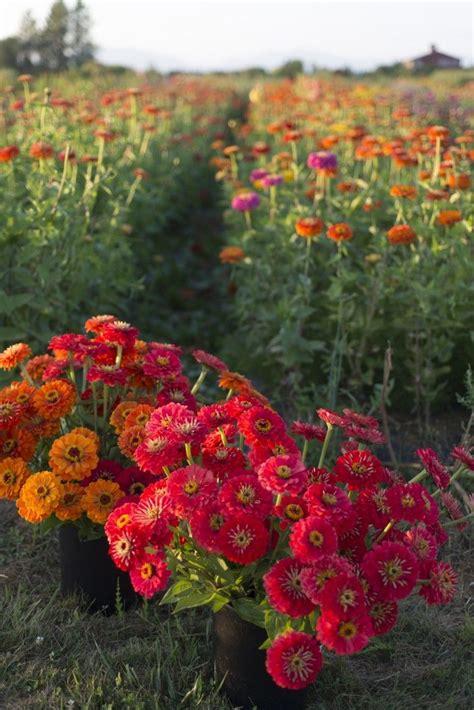 Zinnias Flower Garden Zinnias Flower Garden Gardensdecor
