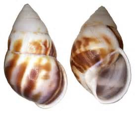 Shell And File Hidromus Perversus Shell Jpg Wikimedia Commons