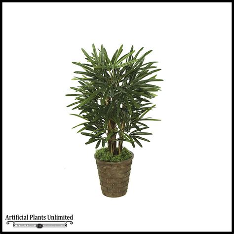 3 lady palm tree green indoor