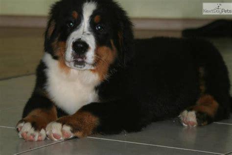 bernese mountain puppies for sale in michigan bernese mountain puppy for sale near grand rapids michigan 0b2b402c aa11