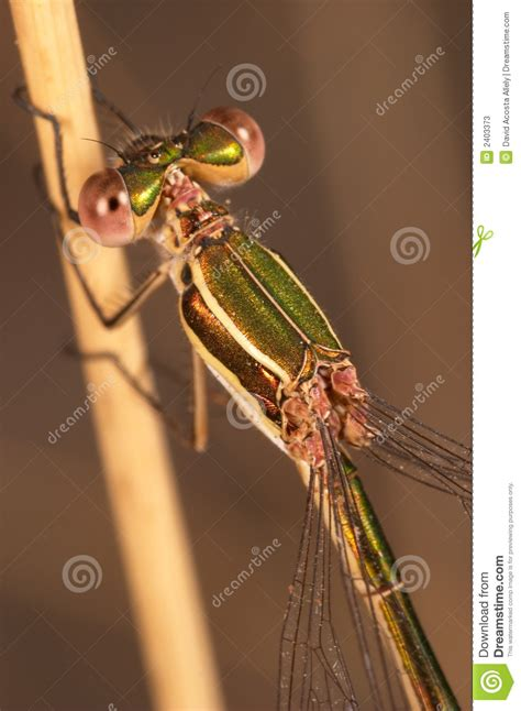 Dragonfly L by Dragonfly Lestes Barbarus Stock Photos Image 2403373