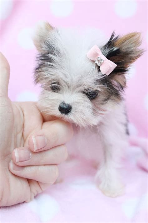 are there white yorkies 1729 best images about obsessed with yorkies on