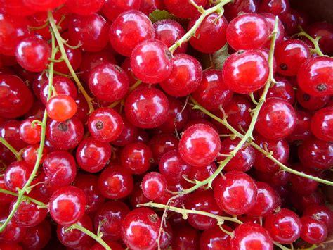 Bilder Roten by File Rote Johannisbeeren Frisch Gepfl 252 Ckt Jpg Wikimedia