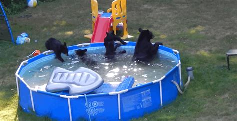 family of bears play in pool in new jersey