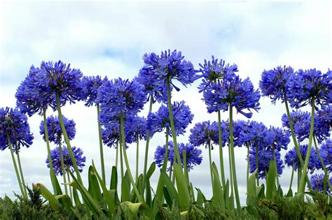 lily of the nile flowers seeds blue african lily agapanthus