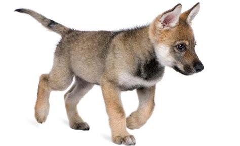 imagenes cool de animales un nuevo estudio explica c 243 mo los lobos se volvieron