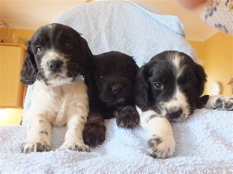 spaniel puppies for sale cocker spaniel puppies for sale march cambridgeshire pets4homes