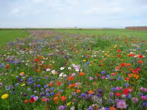 coastal east lothian wildflower meadow 169 richard west