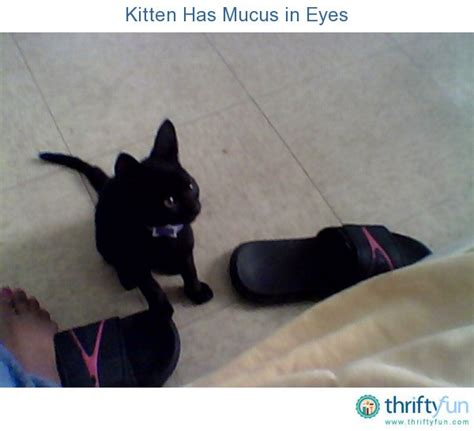 has mucus in eye kitten has mucus in thriftyfun