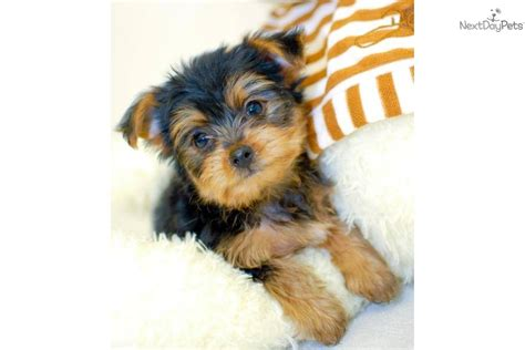 pictures of teacup yorkie poo puppies yorkiepoo haircuts new style for 2016 2017