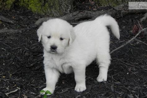 golden retriever puppies for sale in south carolina golden retriever puppy for sale near greenville upstate south carolina 9c63116f a101