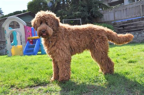 female labradoodle hair styles lexi before and after labradoodles of the north