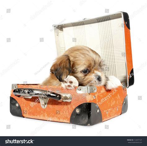puppy suitcase pekingese puppy suitcase stock photo 112477127
