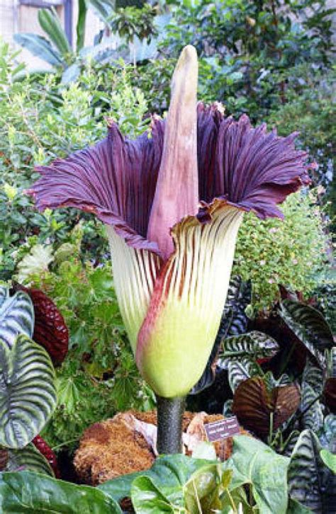 corpse flower hold your nose corpse flower to bloom at butterfly center
