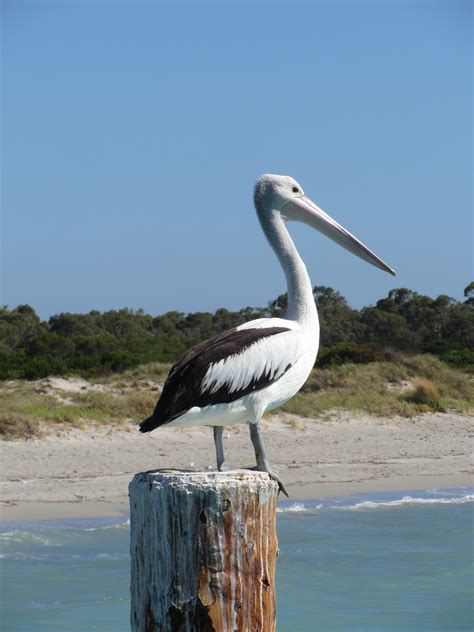 pelican home decor pelican decorations to complete your coastal or beach
