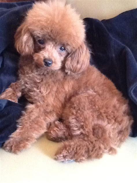 can my teacup poodle get the standard poodle haircut 408 best poodle puppies images on pinterest toy poodles