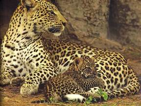 Jaguars Cubs Animal Cubs Images Jaguar With Cub Hd Wallpaper And