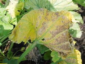 Nutrient Deficiency Diseases In Plants - week 17 sick zucchini kim s veggie garden