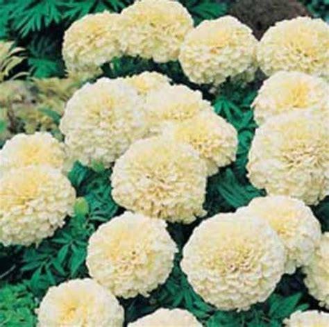 Benih Bibit Bunga Marigold Moonsong bibit bunga benih marigold vanilla f1 lazada indonesia