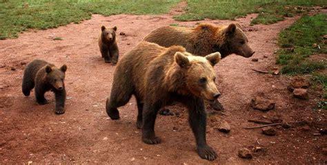 imagenes de la familia de osos ursus arctos oso pardo en waste magazine
