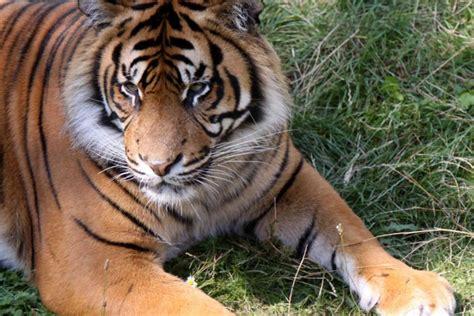 sognare una tigre in casa sognare una tigre cosa vuol dire donnad