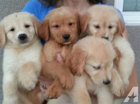 akc golden retriever puppies for sale in california beautiful akc golden retriever puppies for sale in lake elsinore california