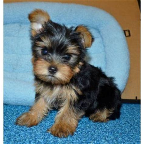 yorkie puppies boy dogs antioch ca free classified ads