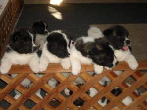 akita puppies for sale in nc akita puppies for 1910 99