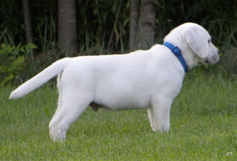 white lab puppies colorado white labrador retriever and white labrador retrievers puppies snow white