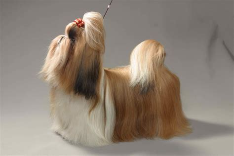 imperial shih tzu prices imperial shih tzu for sale with price and links to breeders