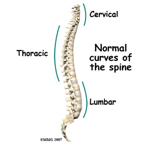 3 sections of spine scoliosis eorthopod com